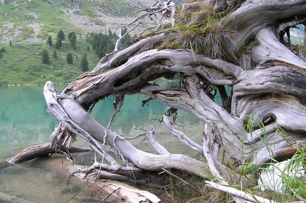 коряга Алтай Верхнее Мультинское озеро